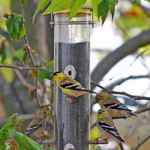 Lesser Goldfinches at MBBG feeder.jpg
