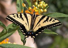 K Nov swallowtail for calendar LP.jpg
