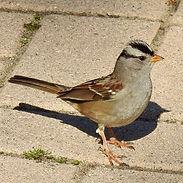 White-crowned Sparrow2.jpg