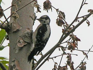 downy woodpecker calendar.jpg