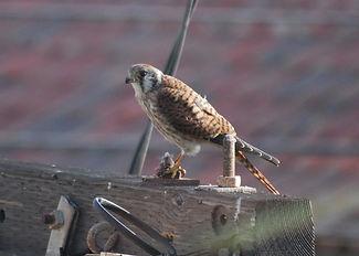 American Kestrel near MB Pier. female wi