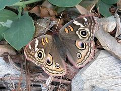Buckeye butterfly resized.jpg