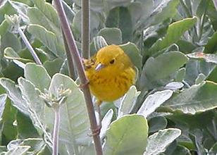 male yellow warbler.jpg