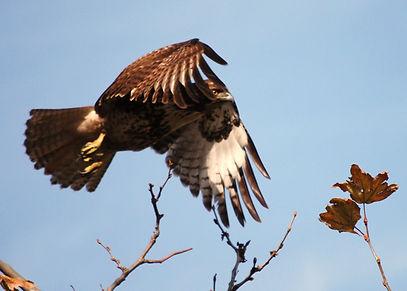 immature Redtailed Hawk.jpg