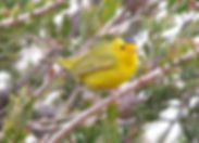 Wilson's warbler HC tree side view close