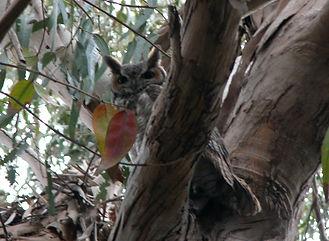 great horned owl at ann's 10.22.06dscn88