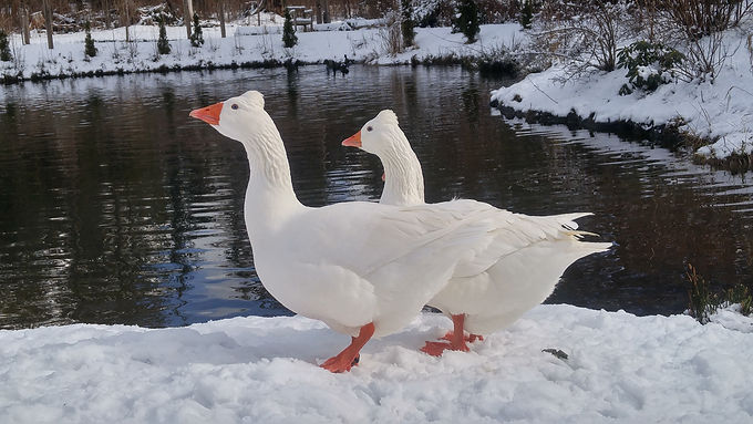 Tufted Roman Geese - Discontinued - Selling Out Of All Stock