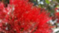 Flor tipica de Nueva Zelanda, tours en espanol, Napier