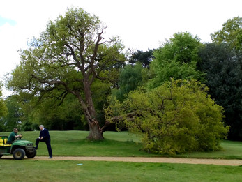 FAMOUS 150 YEAR OLD OAK TREE LANDMARK AT PUTTENHAM GOLF CLUB IS NO MORE