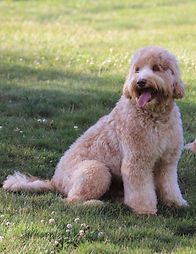Labradoodle breeders in Washington