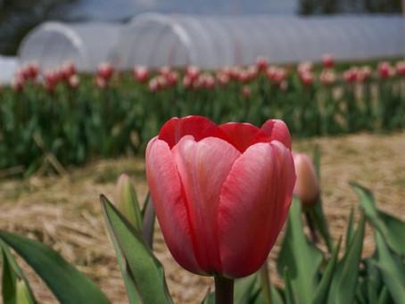 Tulip Fest Blooms in Germantown This Weekend (May 8, 2021)