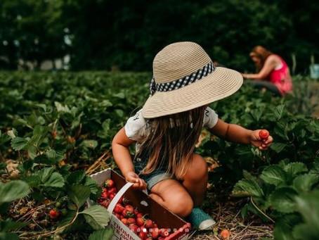 7 Strawberry Picking Farms in Metro Milwaukee (2021)