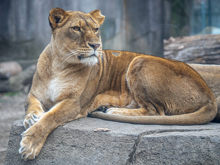 Patty The Lioness: 8 Fun Facts About The Zoo's New Mom