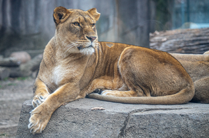 Patty The Lioness at the Milwaukee County Zoo. Photo by Garrett Hopkins.