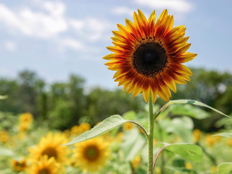 10 Sunflower Fields Blooming Around Milwaukee (2021)