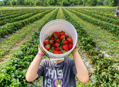 2020 Berry Picking Guide: What's Open This Year & New Safety Measures