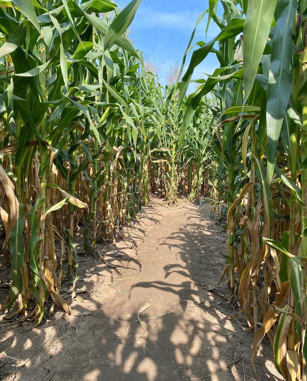 Barthel Fruit Farm Corn Maze