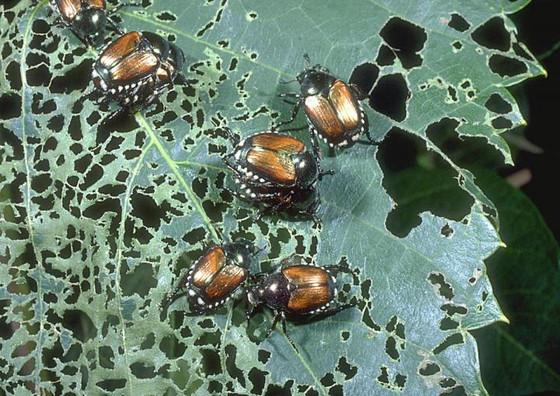 SEVERE DAMAGE: Plants & Turf - Japanese Beetles