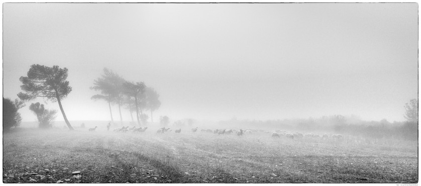 Flock in The Fog