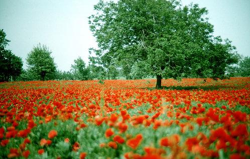 Poppy Field Tree