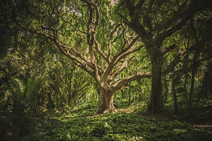 very large old tree in dense forest