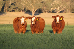 Simmental Heifers .jpg