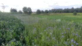цветет фацелия