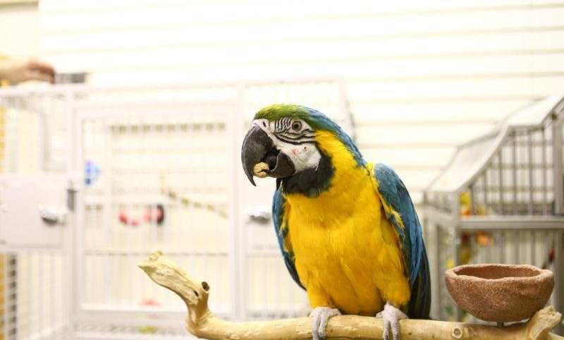 Blue &Gold Macaw
