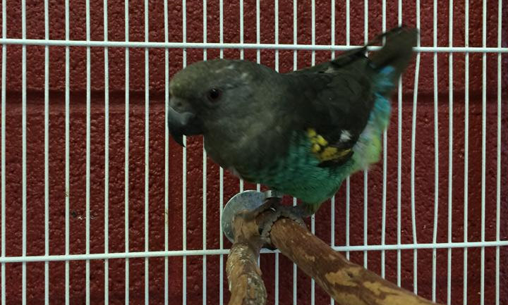 Myers Parrot
