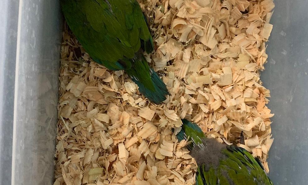 Severe Mini Macaw