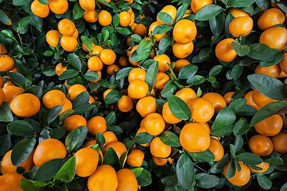 Many ripe mandarines growing on the bush