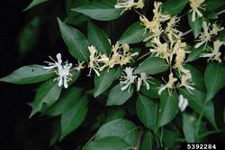 Asian bush honeysuckle