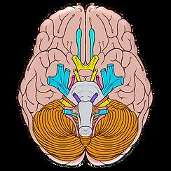 cranial-1.png