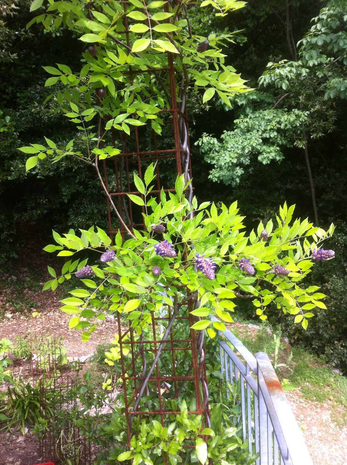 terras wisteria bloeit