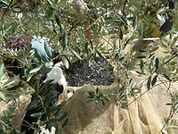 Olive picking in autumn