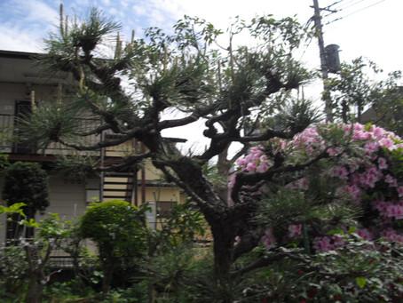 松の新芽(ミドリ)を整理してみました。
