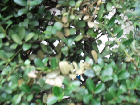 イヌツゲの枝枯れ病について