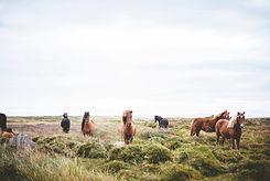 Wild Horses på Prarie