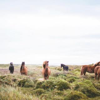 Divocí koně na Prarie