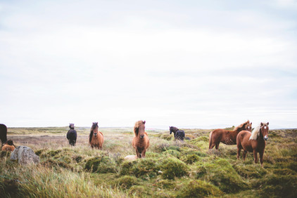 Wilde Pferde auf dem Prarie