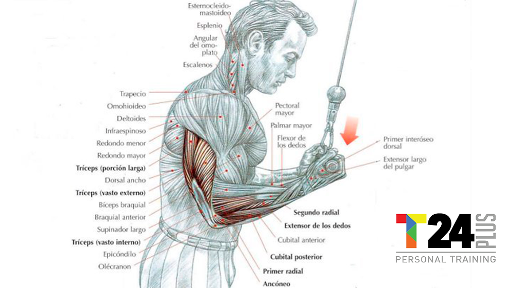 Extension de triceps en polea
