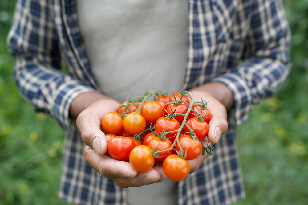 Man holding delicious cherry tomatoes in his hand