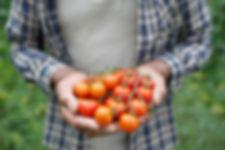 Freshly harvested cherry tomatoes