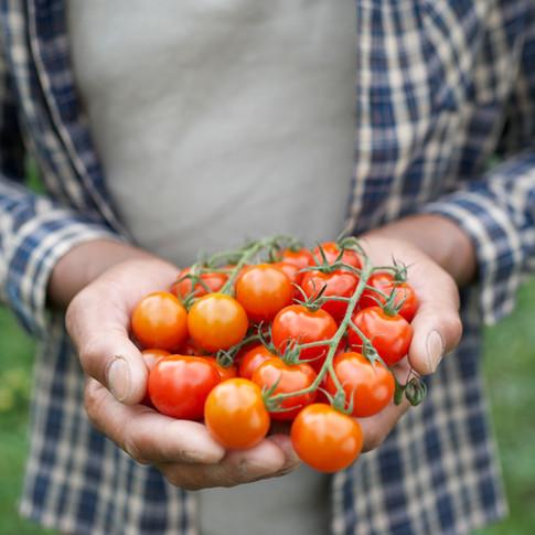 Colheita de Tomates, legumes