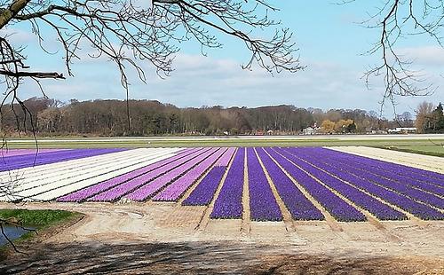 Hyacinths%20De%20Bulb%202020_edited.png