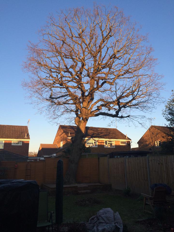 Oak (After Pruning Operations)