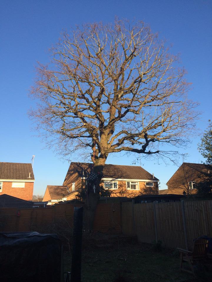 Oak (During)