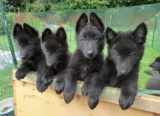 Socialising puppies, why we should think twice!