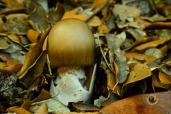 BOLET (Amanita phalloides)
