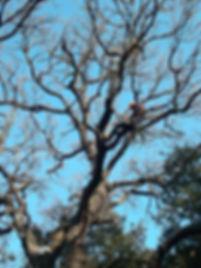 Elagage bois morts chêne blanc Aubagne 13